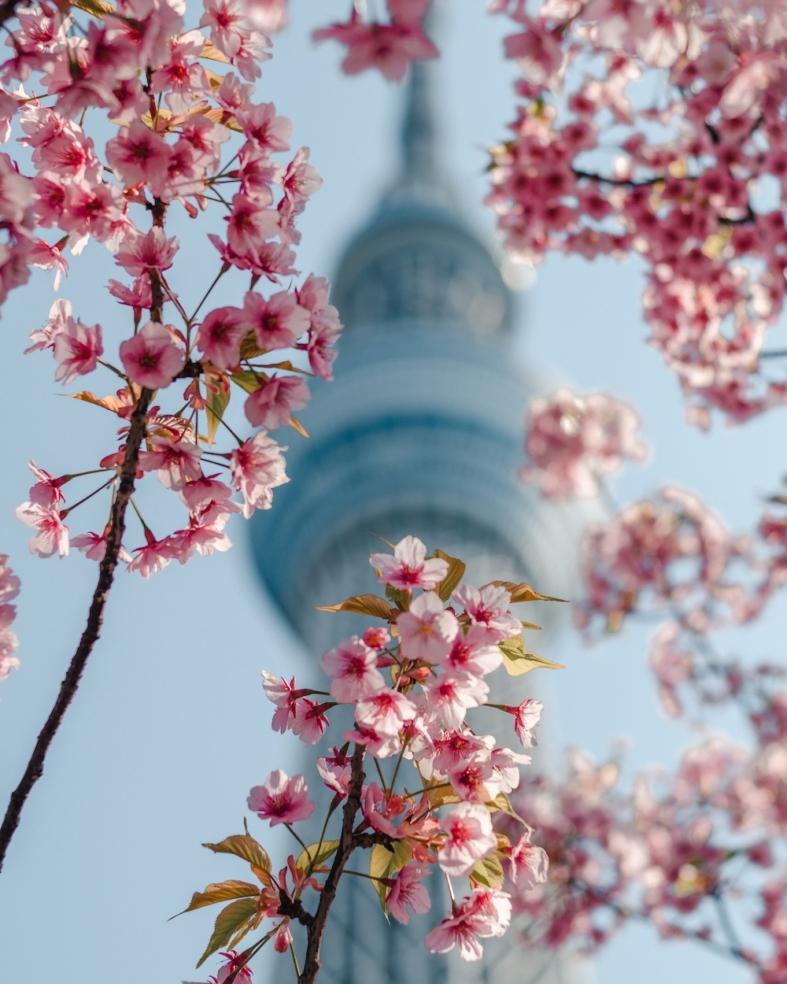 Cerejeiras e Tokyo Skytree